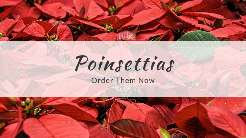 Order poinsettias now